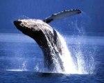 As baleias estão voltando!